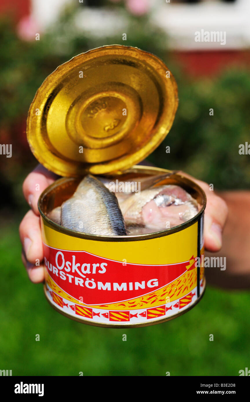 Surstromming fermented baltic herring in a opened can a for Swedish fermented fish