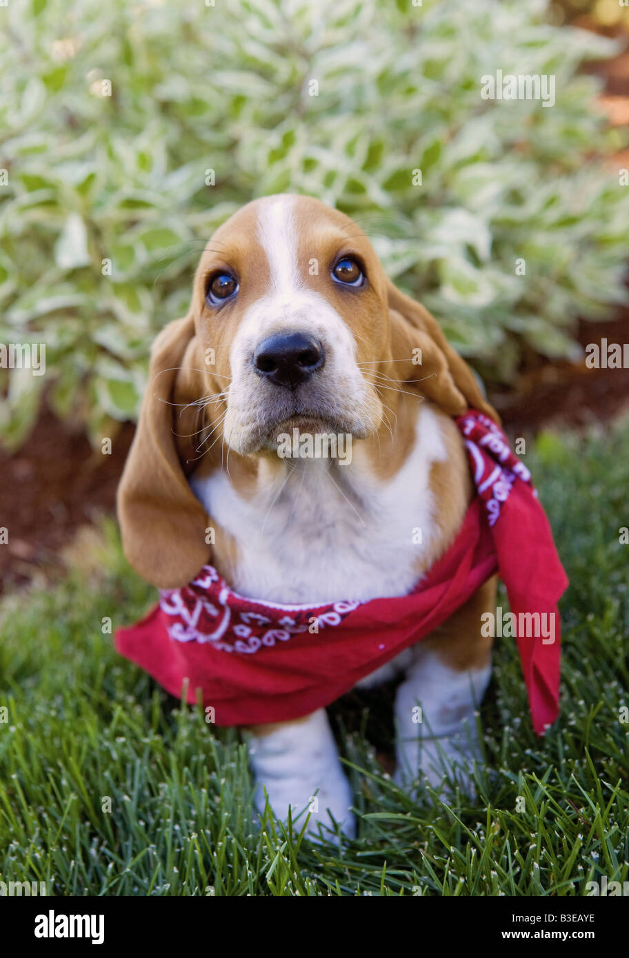 Cute Brown And White Basset Hound Puppy Outdoors In The