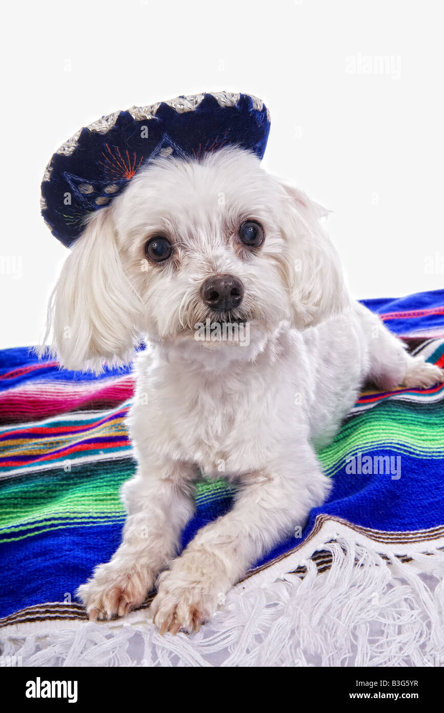Fox with a hat new year or christmas animal isolated on white - Cute Mexican Maltese Dog Wearing Sombrero Hat On Brightly Colored Blanket Isolated On White Background