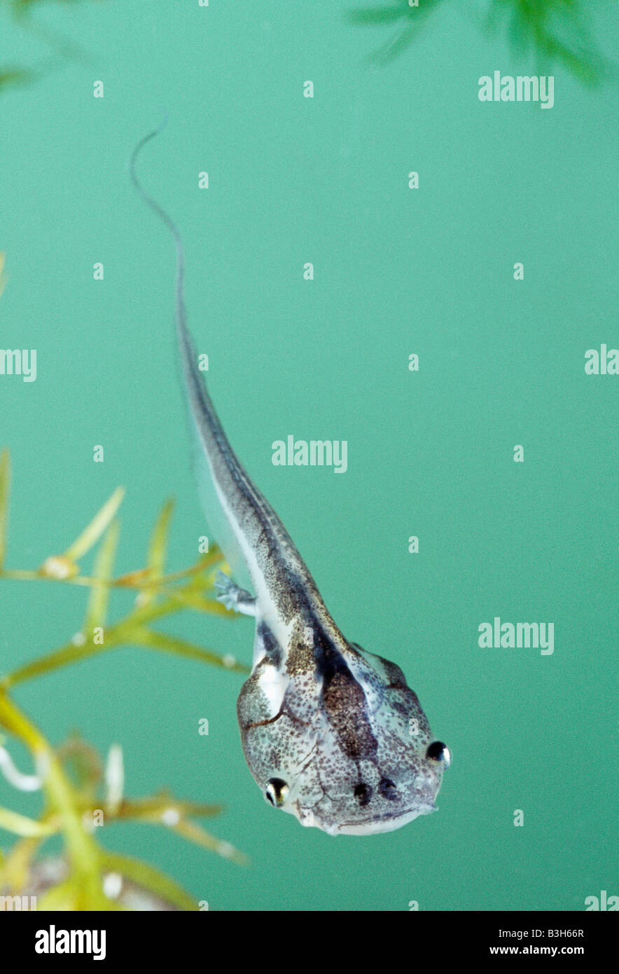 Stock Photo Tadpole Of South African Clawed Frog Xenopus Laevis 19432415 on Life Cycles Of Frog