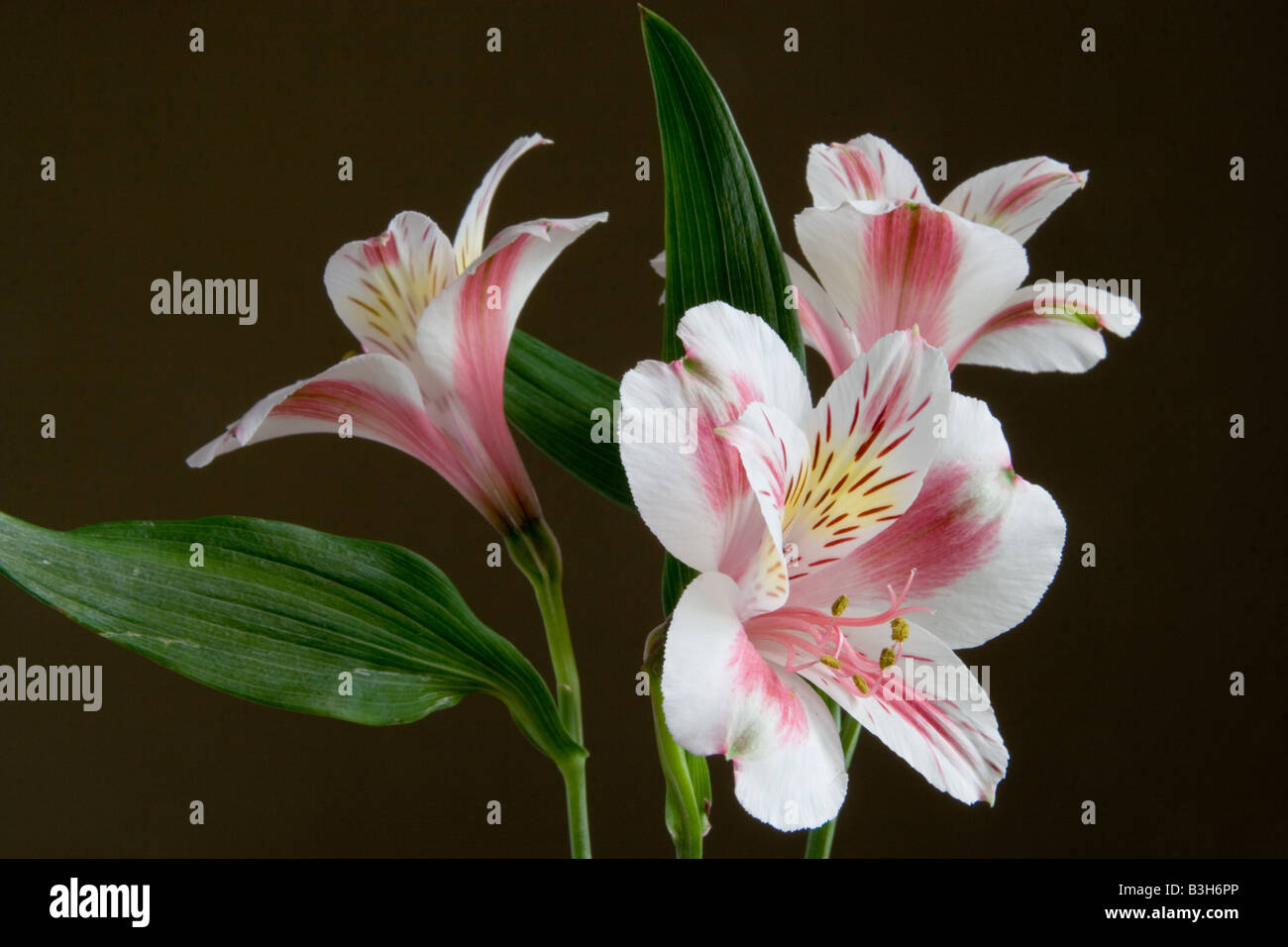 Three Inca Lily flowers Alstroemeria cultivar in landscape format Stock Pho