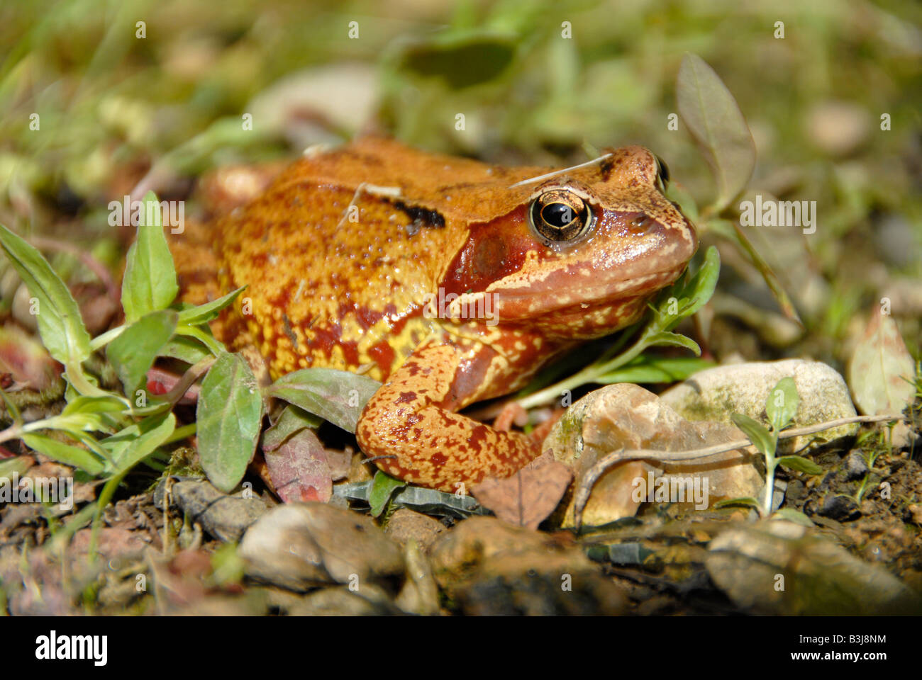 Common Or Garden English Frog Or Toad Stock Photo Royalty Free
