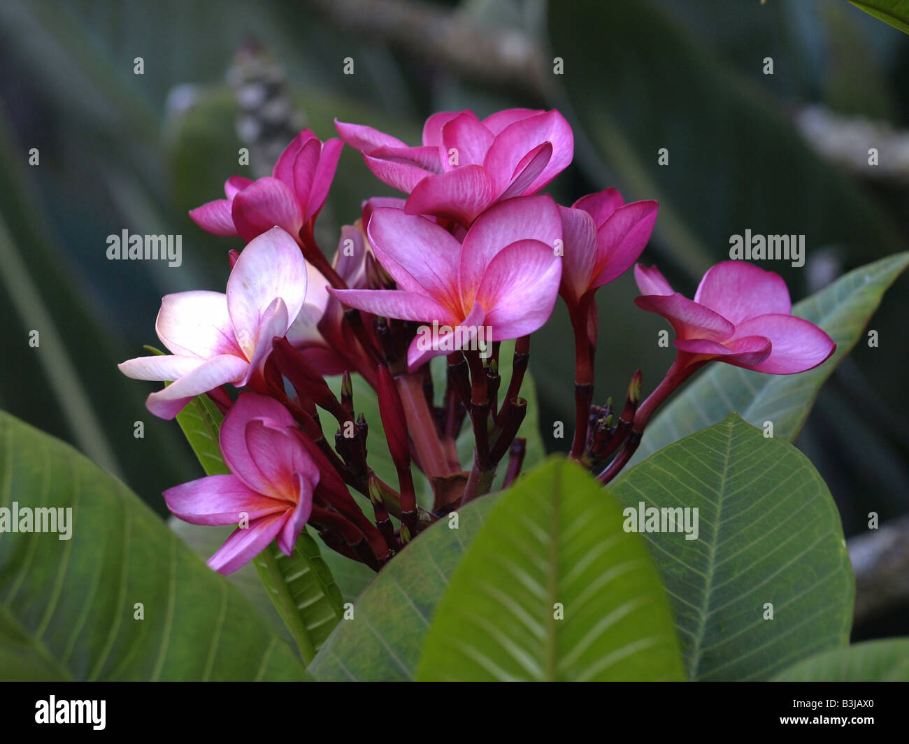 Pink and light pink plumeria flowers on tree stock photo royalty stock photo pink and light pink plumeria flowers on tree dhlflorist Gallery