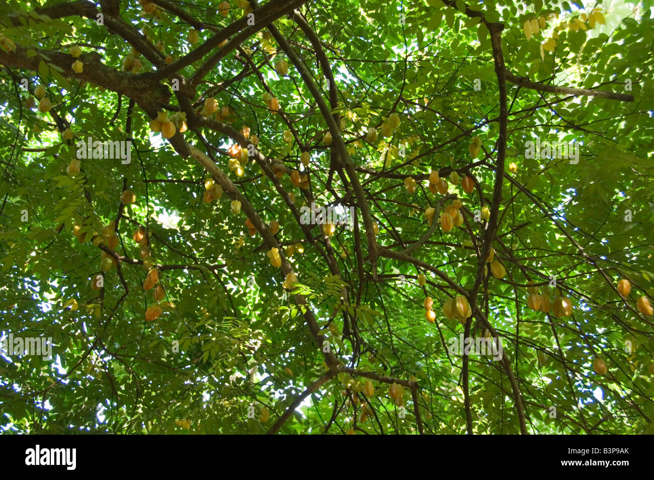 Chinese Lantern Tree Stock Photo, Royalty Free Image ...