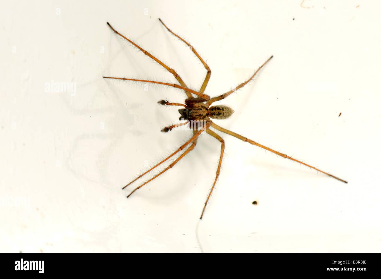 Male House Spider Tegenaria Domestica Trapped In A Kitchen Sink In Autumn