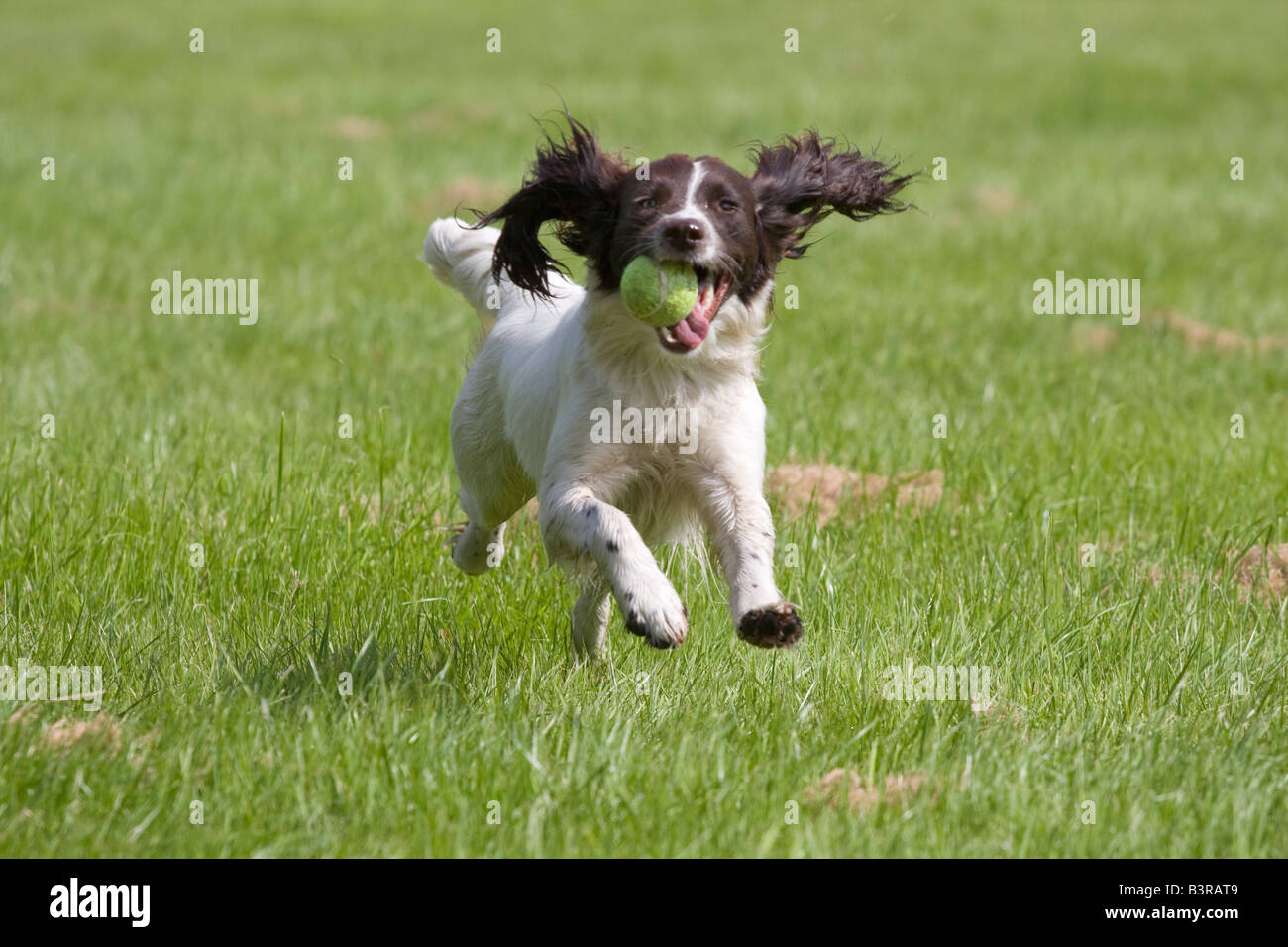 how to field cut a springer spaniel