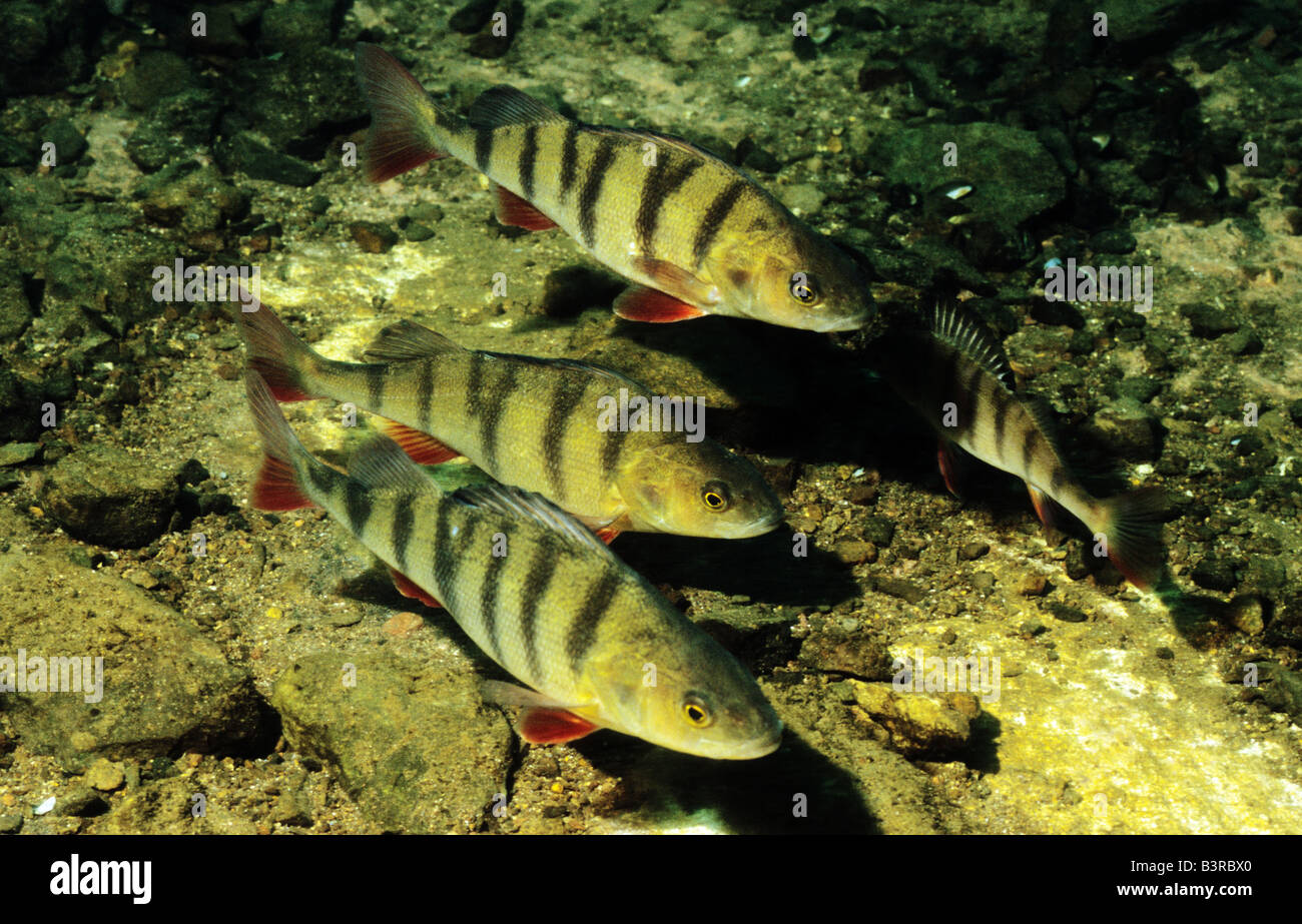 Freshwater fish england - Stock Photo Three Perch Stoney Cove Leicestershire England Freshwater Fish In Uk Inland Waters