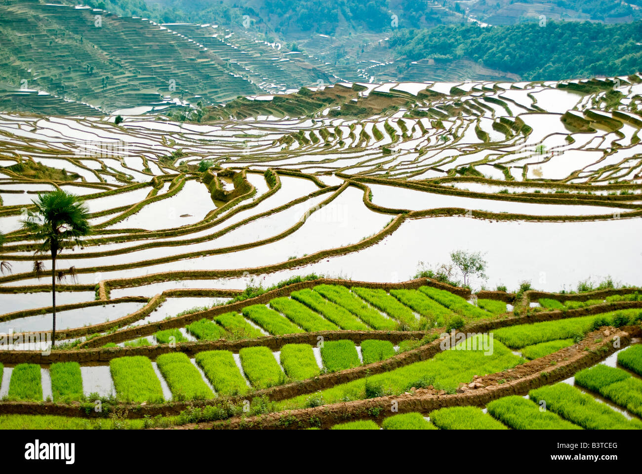 Rice seed for planting - Asia China Yunnan Province Honghe County Green Seed Rice Ready For Planting On Flooded Jiayin Terraces