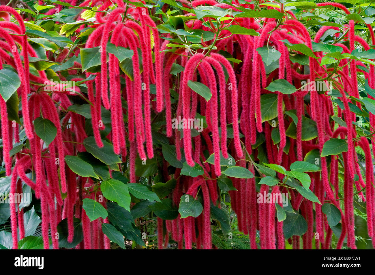 Red Chennile Flowers Victoria Butterfly Gardens Victoria B C Stock Photo Royalty Free Image