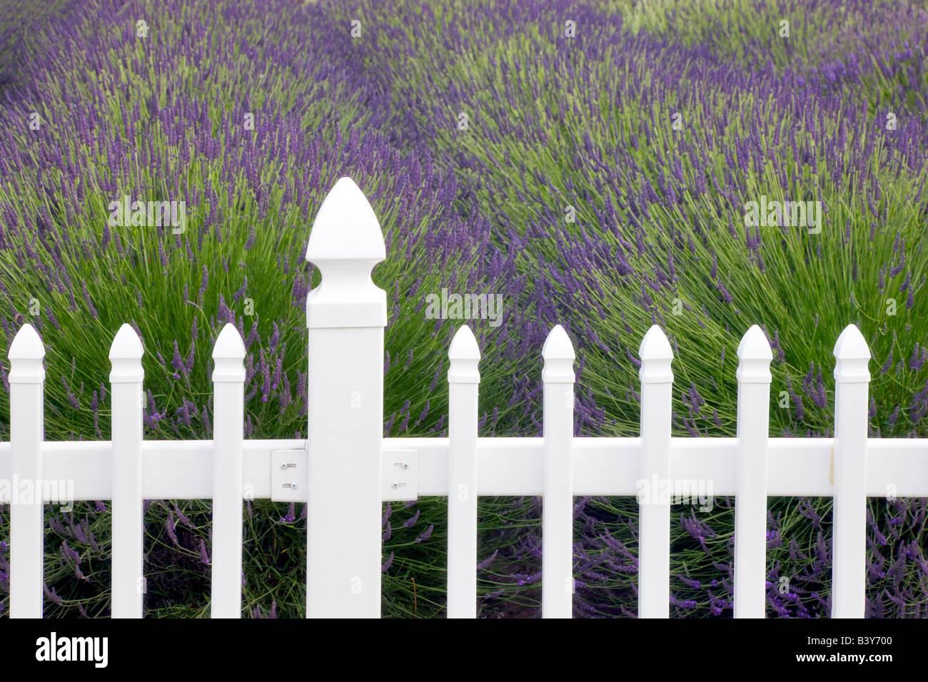 fence with lavender jardin du soleil lavendar farm. Black Bedroom Furniture Sets. Home Design Ideas