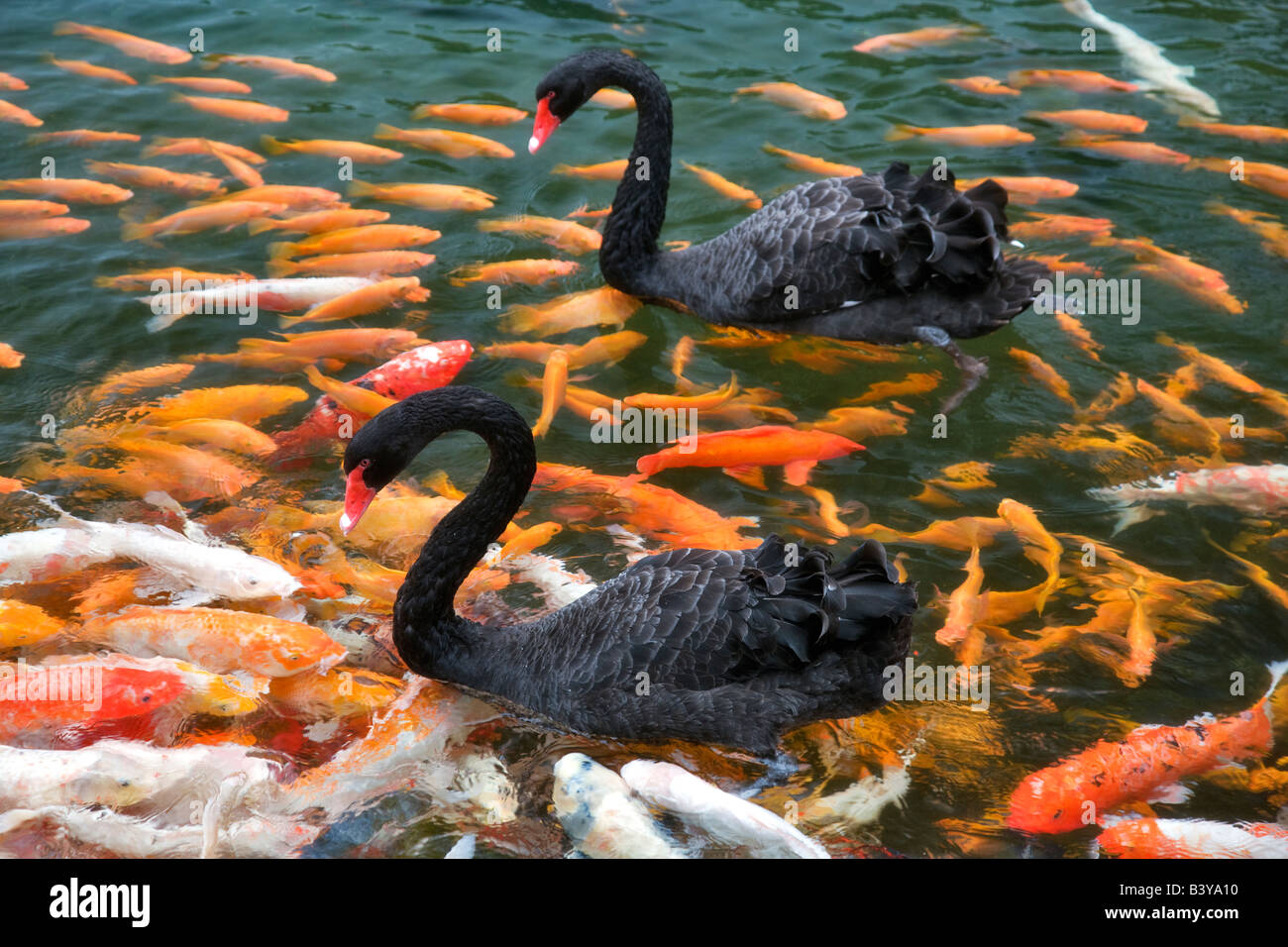 Black swan and koi fish hyatt hotel kauai hawaii stock for All black koi fish