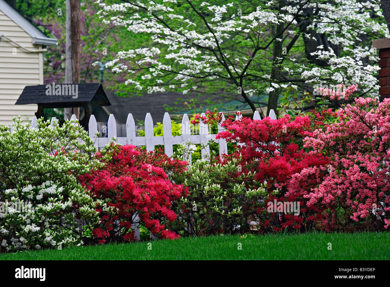 Pickett fence azaleas and flowering dogwood tree cornus florida pickett fence azaleas and flowering dogwood tree cornus florida audubon park neighborhood louisville kentucky baanklon Gallery