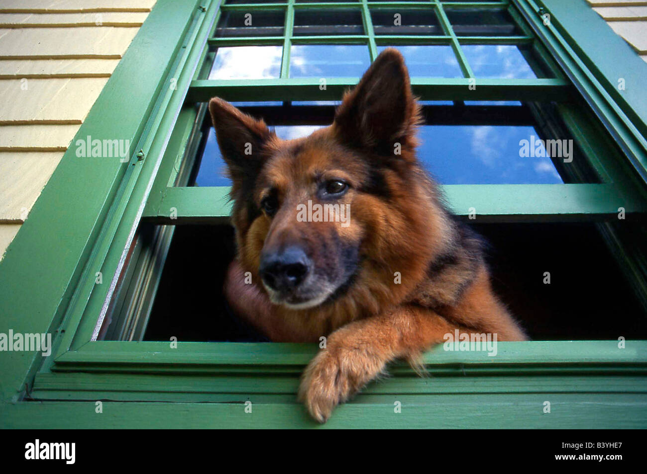 Usa oregon portland griff the long hair german shepherd for Window in german