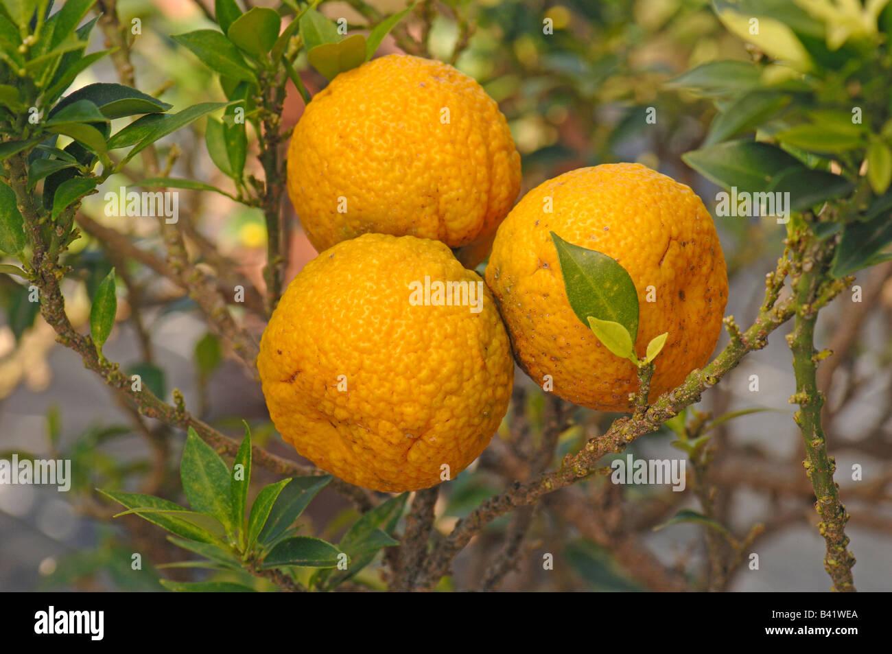 Chinotto myrtle leaved orange tree citrus myrtifolia for Citrus myrtifolia