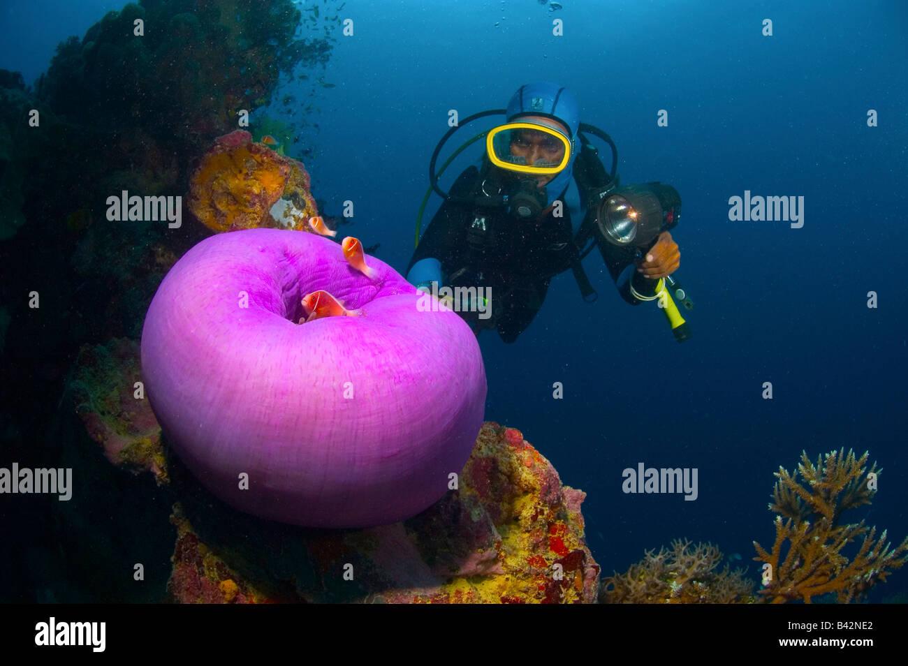 Diver and anemonefishes at wreck shinkoku maru truk lagoon caroline islands pacific ocean chuuk micronesia