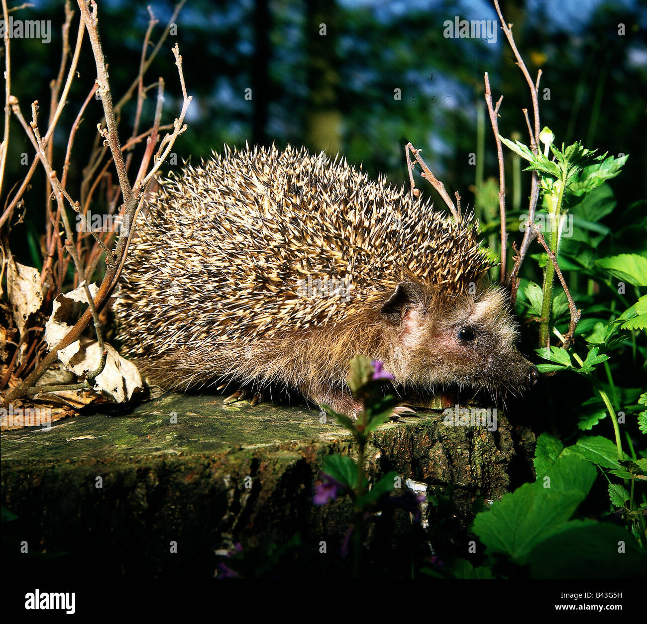 zoology animals mammal mammalian hedgehog erinaceus stock