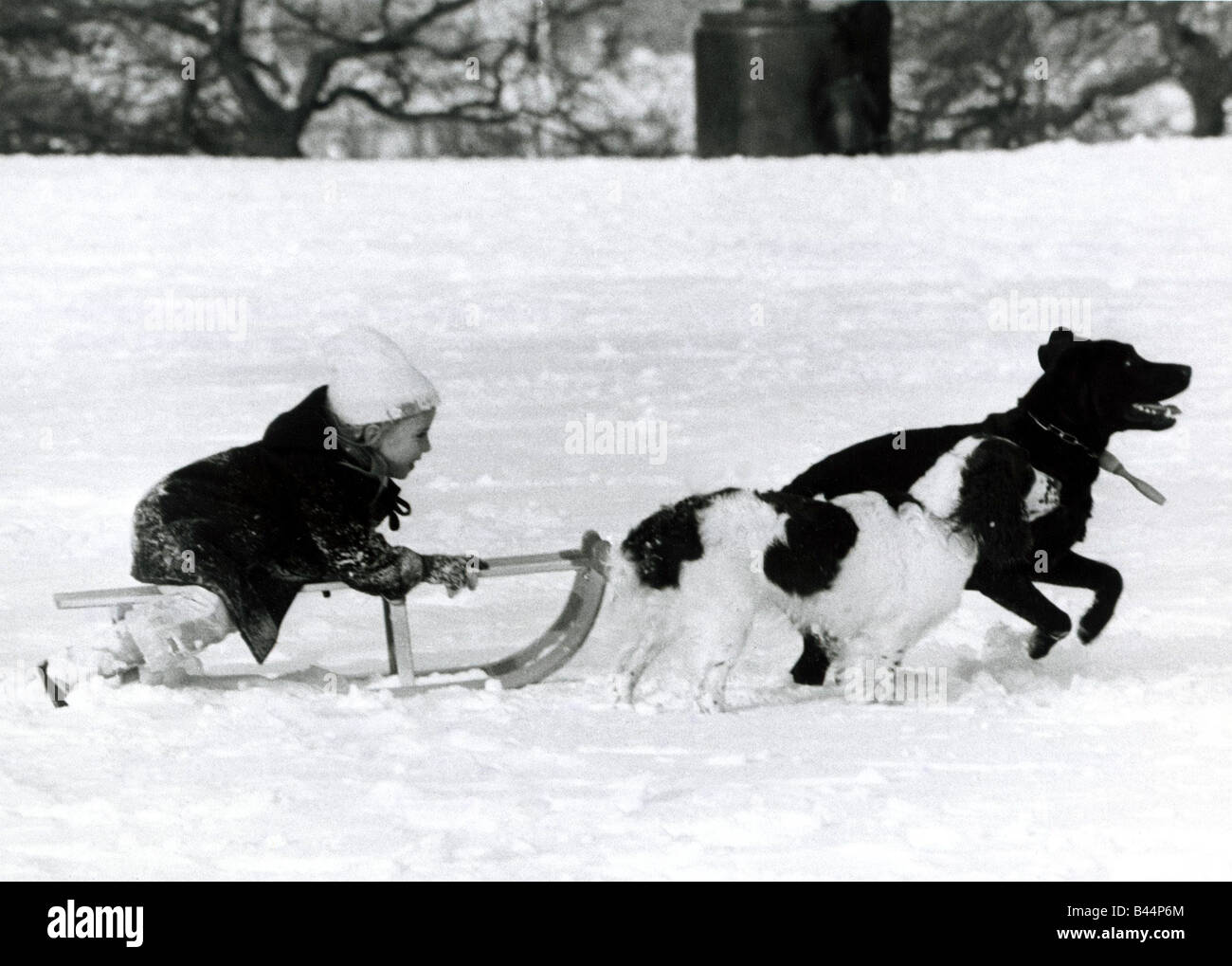 Child being pulled on sledge by two pet dogs in snow ...