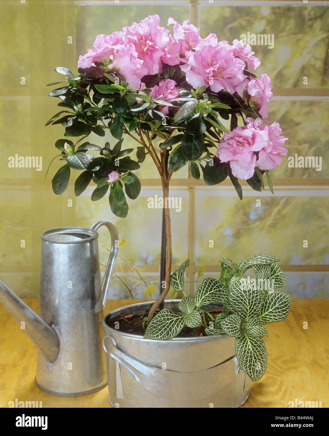 azalea in pot rhododendron simsii hybride stock photo royalty free image 19776698 alamy