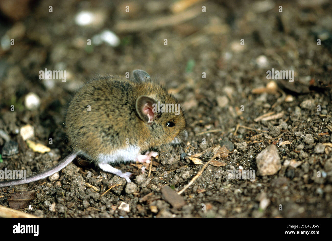 Zoology animals mammal mammalian muridae wood mouse for Soil zoology