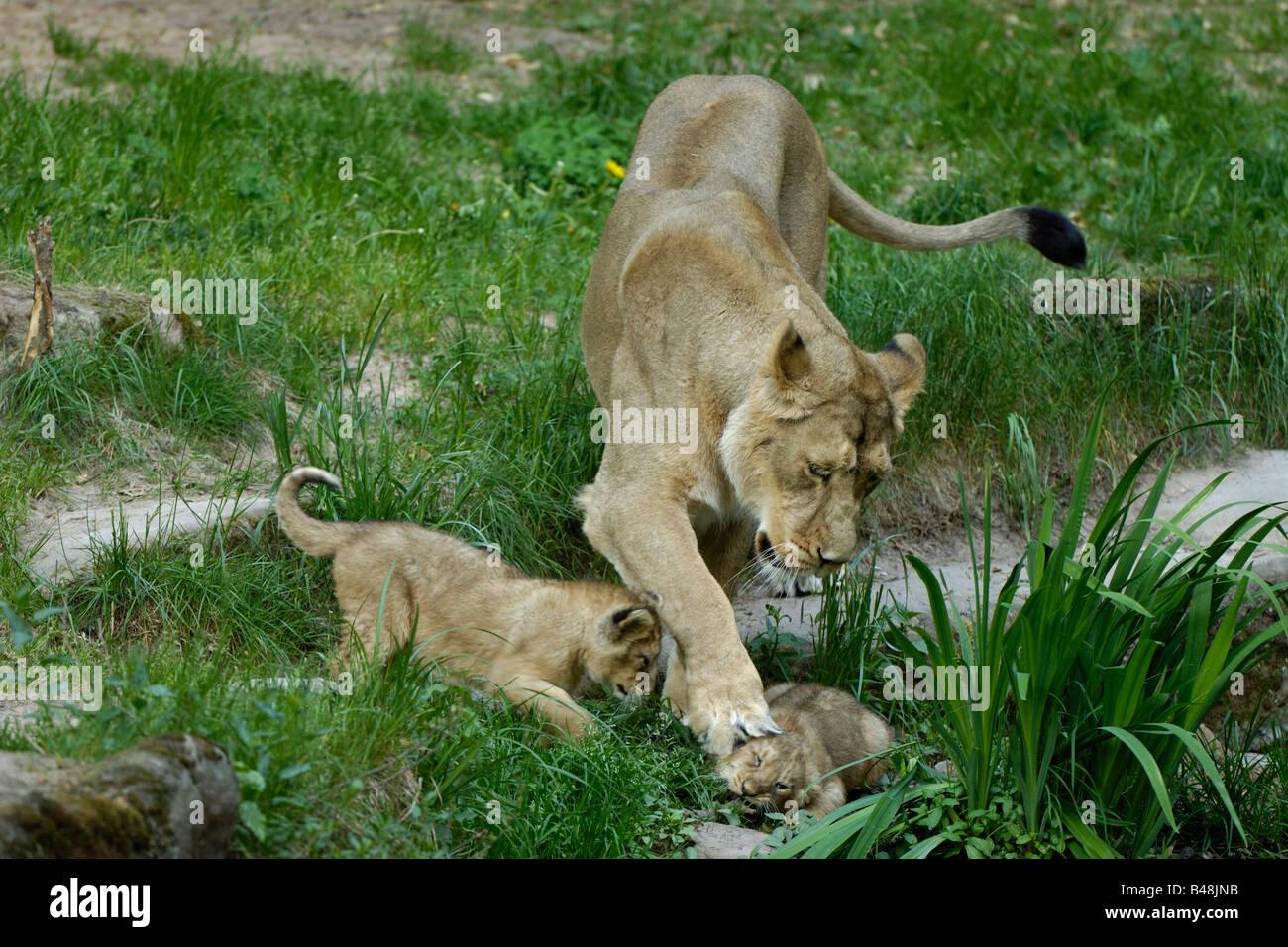 Asiatische Pumas Bilder