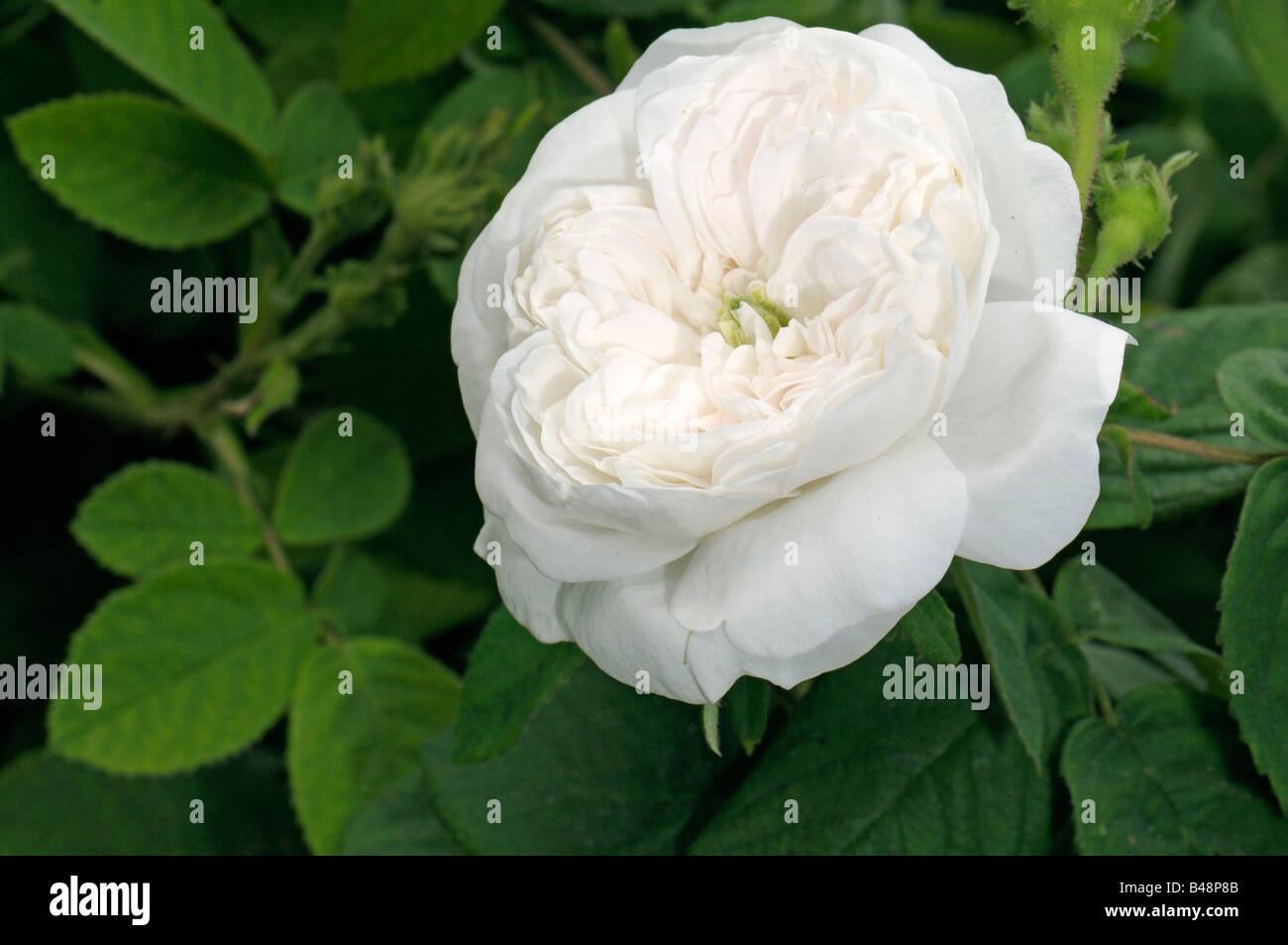 damask rose rosa x damascena variety madame hardy. Black Bedroom Furniture Sets. Home Design Ideas