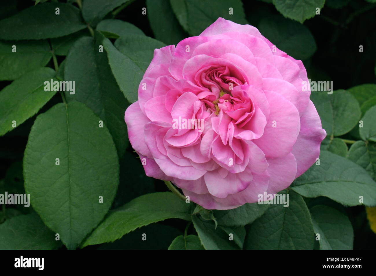 damask rose rosa x damascena variety ispahan flower stock photo 19862507 alamy. Black Bedroom Furniture Sets. Home Design Ideas