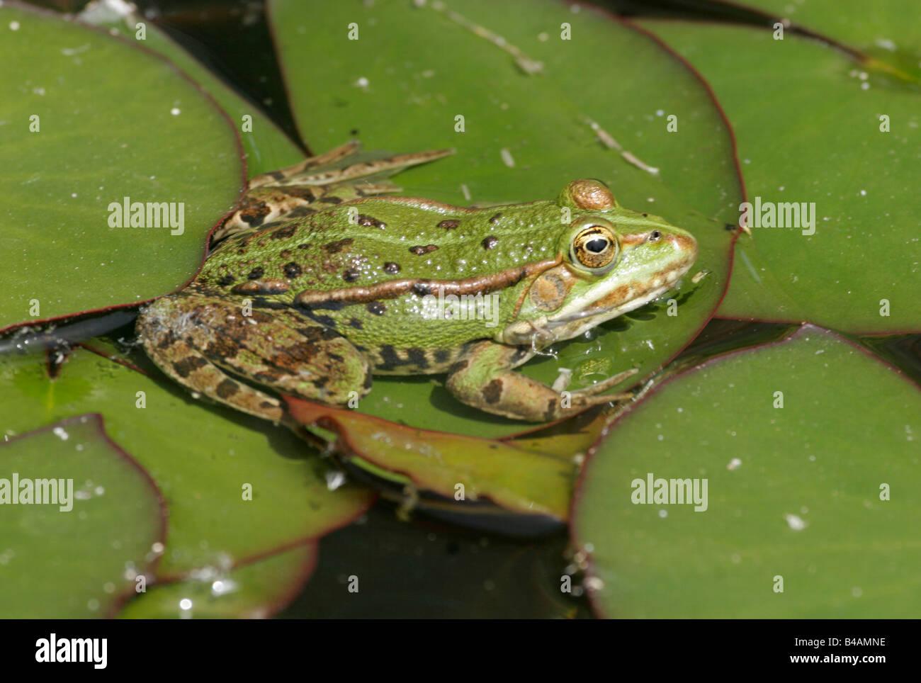 zoology animals amphibian frogs pool frog sitting on leaf of