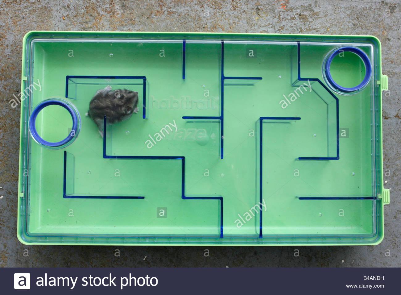 labyrinth hamster