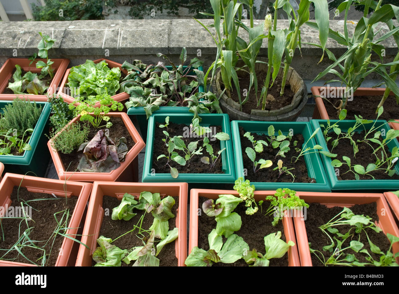 Vegetables and salads growing in plastic pots on rooftop urban vegetable  garden London. Vegetables and salads growing in plastic pots on rooftop urban