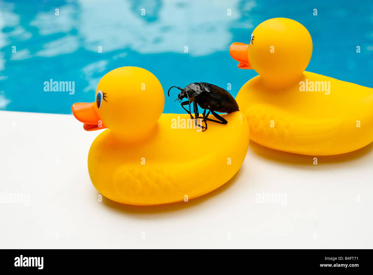 a large black water bug hitches a ride on an unknowing rubber
