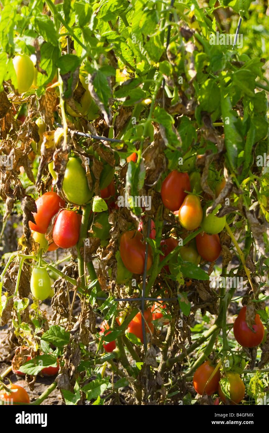 roma tomato plant stock photos  roma tomato plant stock images, Natural flower
