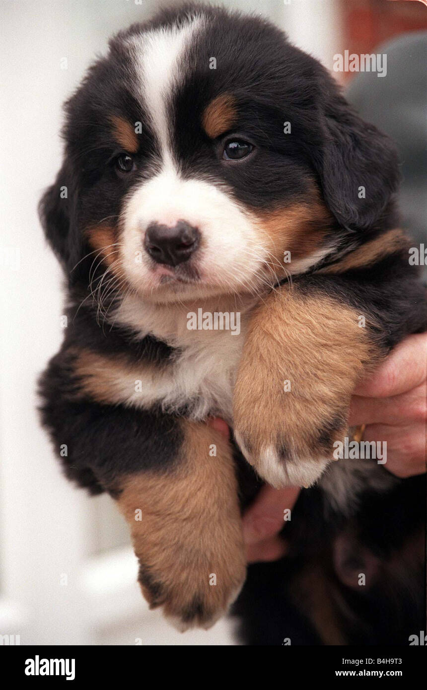 dogs bernese mountain dog swiss mountain dog puppy aged four weeks stock photo royalty free