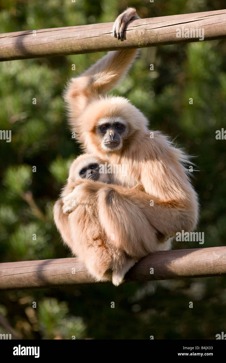 asian single women in gibbon The evolution and history of women in asia coincide with the evolution and history of asian women can be categorically grouped as women from the asian.
