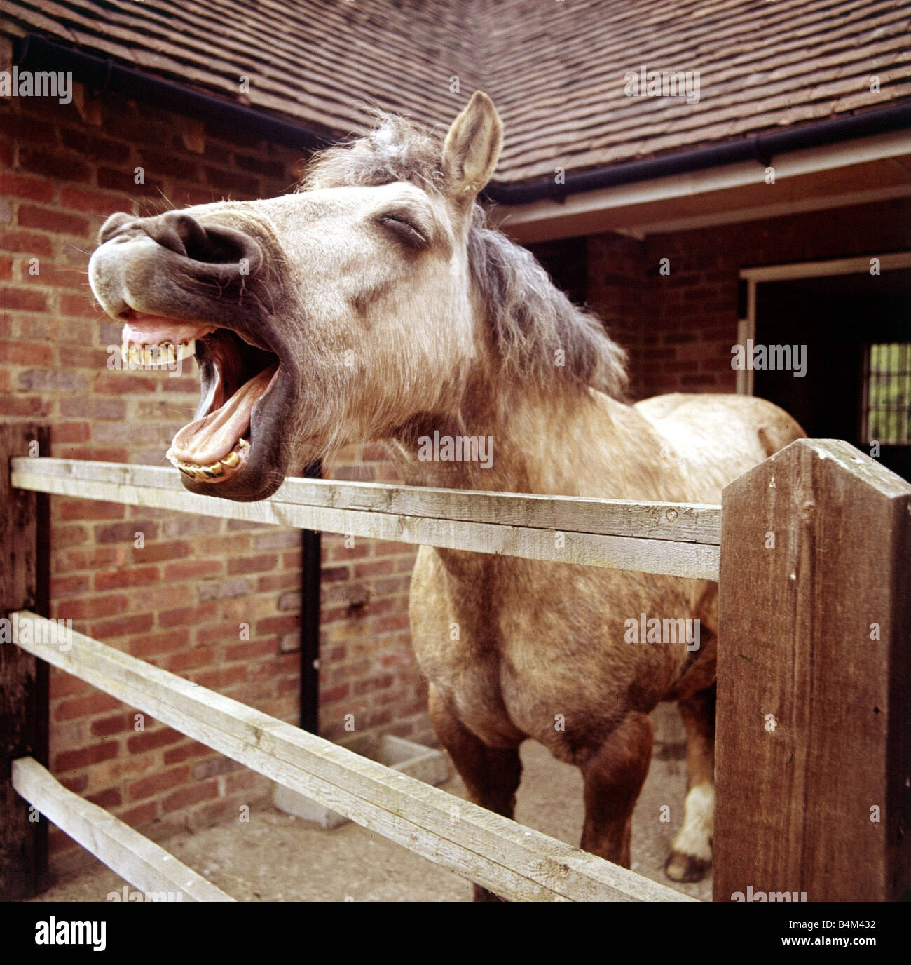 A laughing horse in his stable February 1989 animal ... - photo#17
