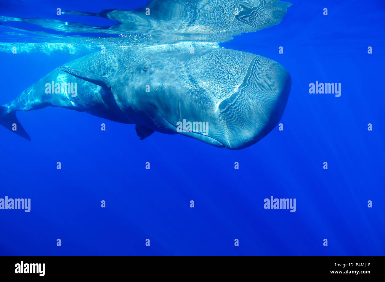 sperm whale underwater, Physeter catodon, Physeter ...