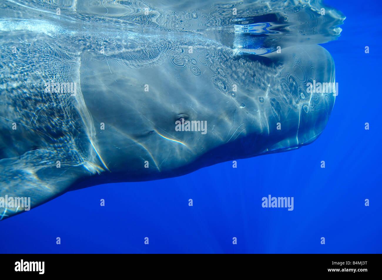 head of a sperm whale underwater, sperm whale underwater ...