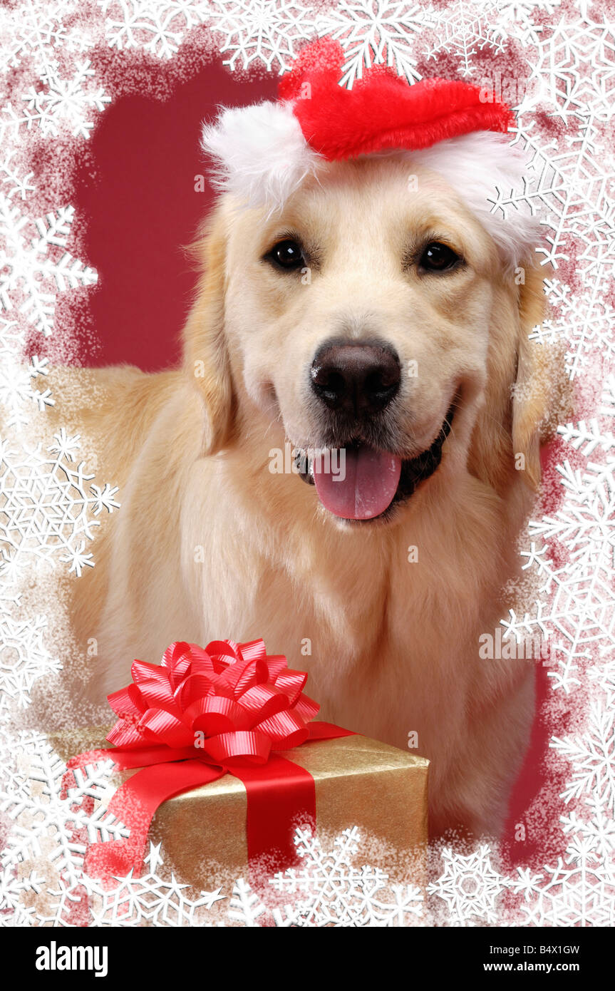 Golden Retriever Christmas Card Stock Photo, Royalty Free Image ...