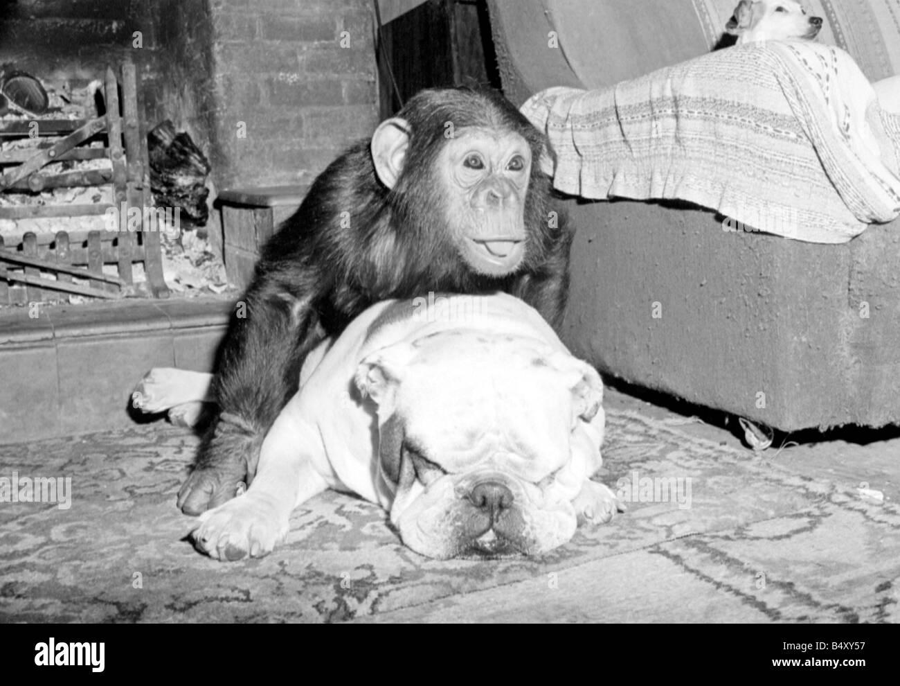sparky the chimpanzee relaxes with a bulldog sleeping on a hearthrug april rev - Hearth Rug