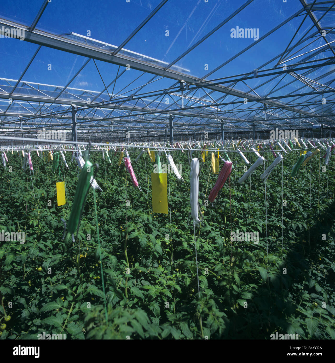 Yellow Sticky Traps Above Glasshouse Tomato Crop Used To Monitor Free Flying Whitefly