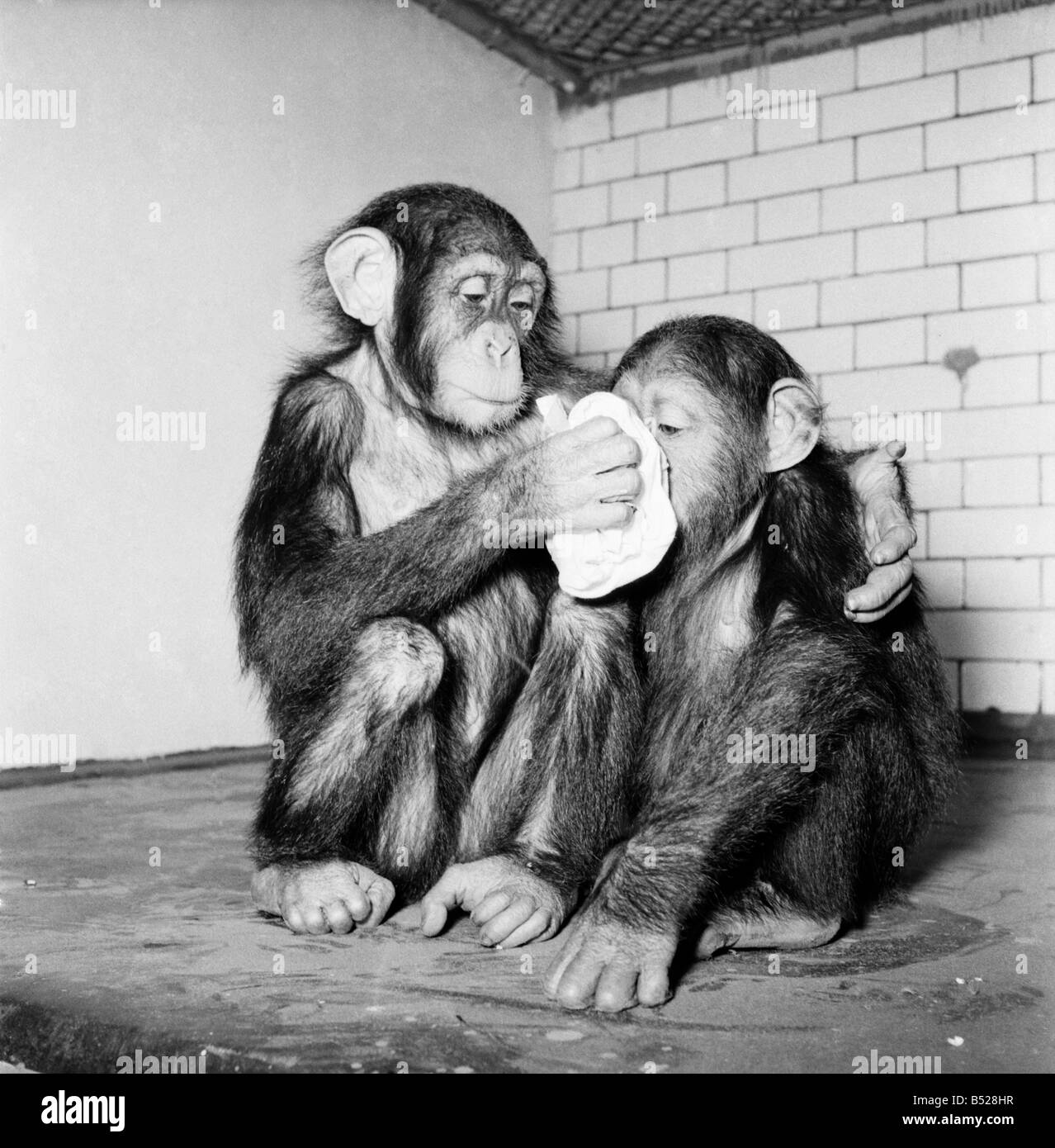 Chimpanzee pictures chimpanzees are all black but - Chimpanzees Tea Party Is Cancelled As The Monkeys All Hance Colds Our