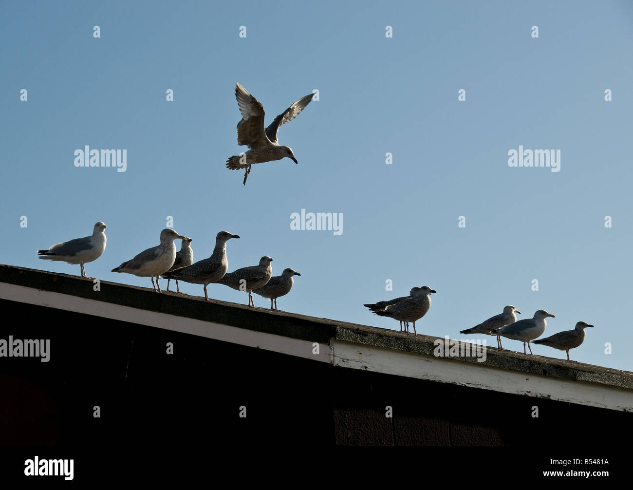 Seagulls On A Roof Stock Photo Royalty Free Image