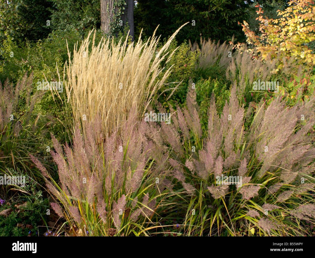 reed grass calamagrostis x acutiflora 39 karl foerster. Black Bedroom Furniture Sets. Home Design Ideas