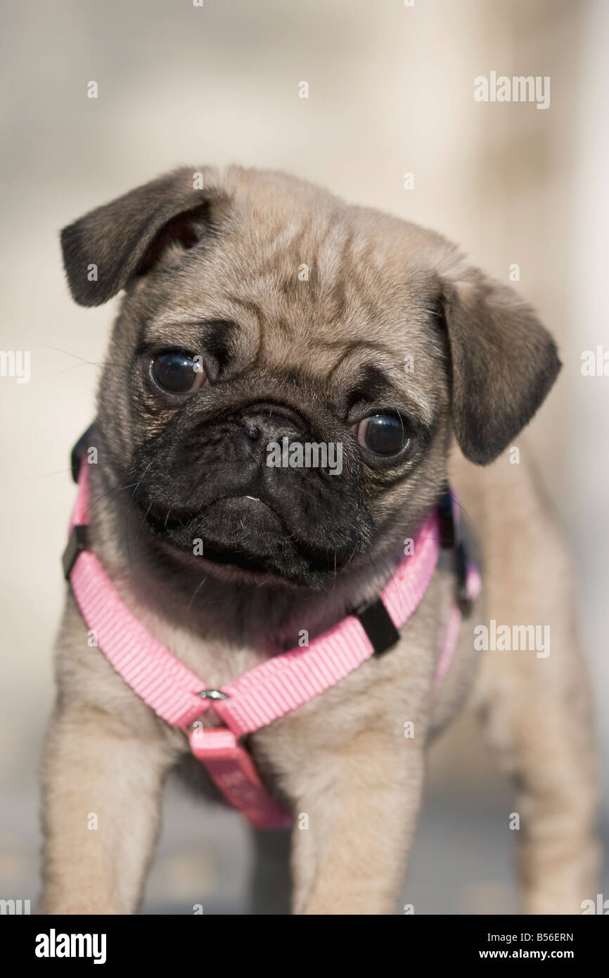 Dog Harness For Pug Puppy