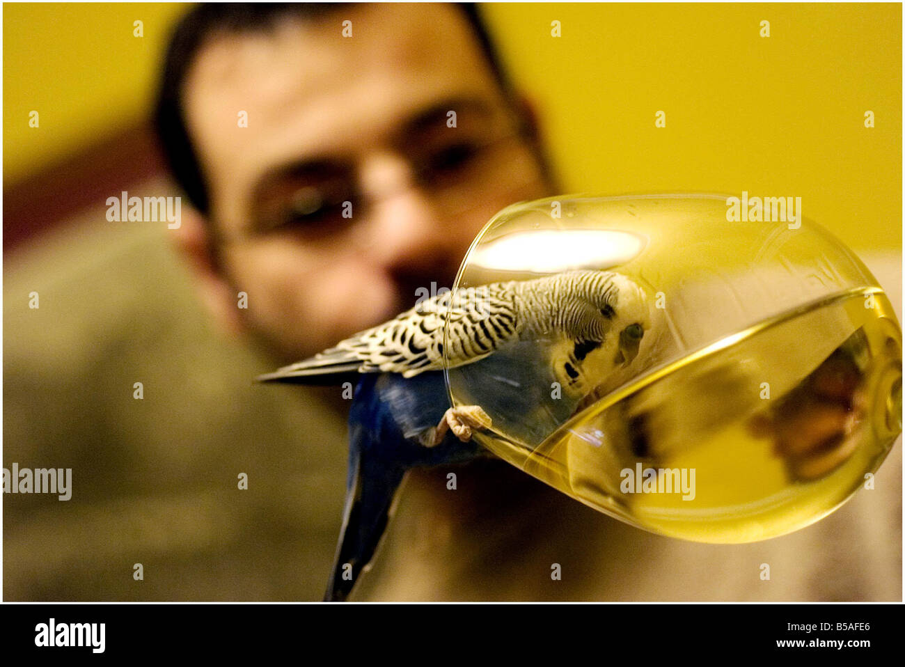 PICTURE <b>Derek Blair</b> 17 year old budgie Harry enjoys a wee tipple of wine <b>...</b> - picture-derek-blair-17-year-old-budgie-harry-enjoys-a-wee-tipple-of-B5AFE6