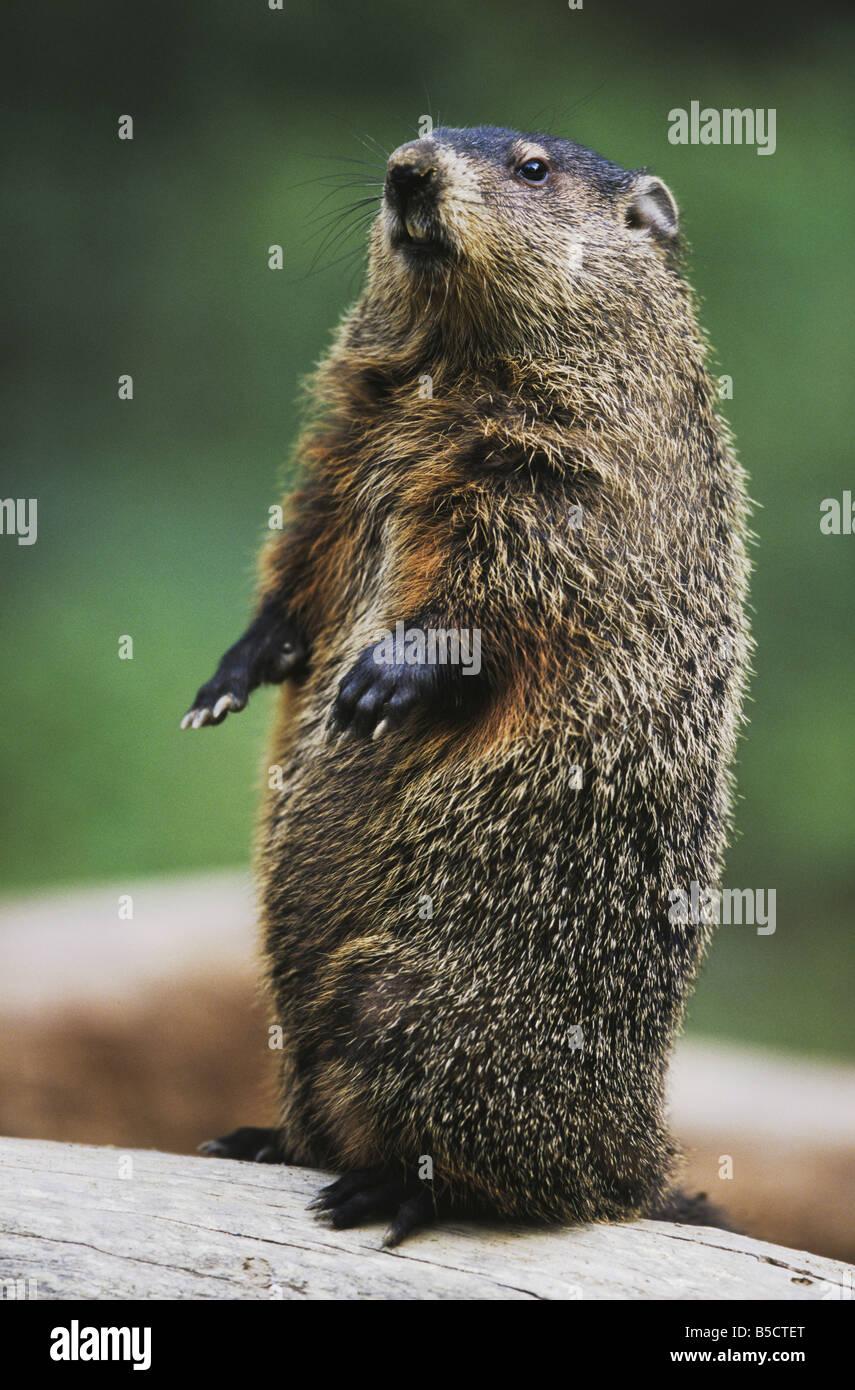groundhog woodchuck marmota monax standing upright raleigh