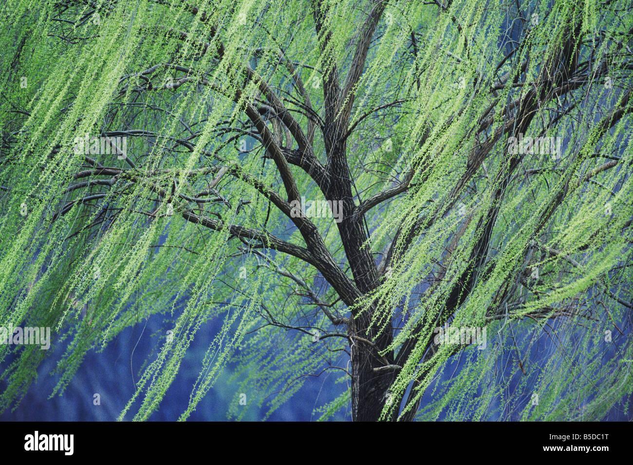willow tree spring green stock photos u0026 willow tree spring green