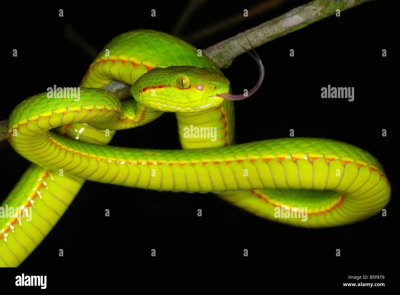 pope s pit viper trimeresurus popeiorum venomous uncommon pope s pit viper trimeresurus popeiorum venomous uncommon generally encountered at night above an elevation of