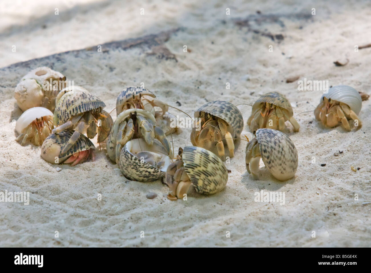 A group of hermit crabs on a white sand beach Stock Photo ...