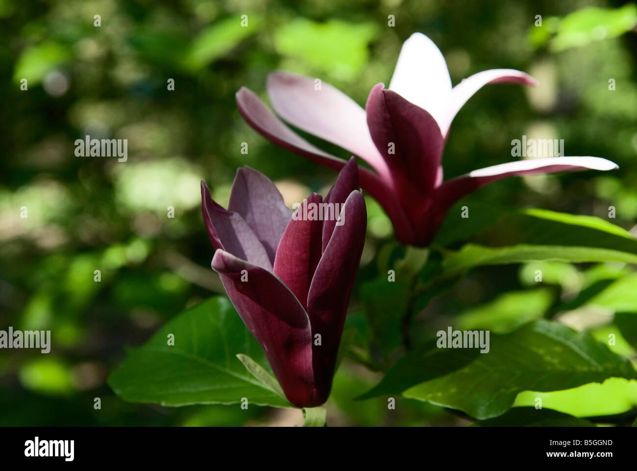 flowering flower magnolia liliiflora mulan magnolia tulip. Black Bedroom Furniture Sets. Home Design Ideas