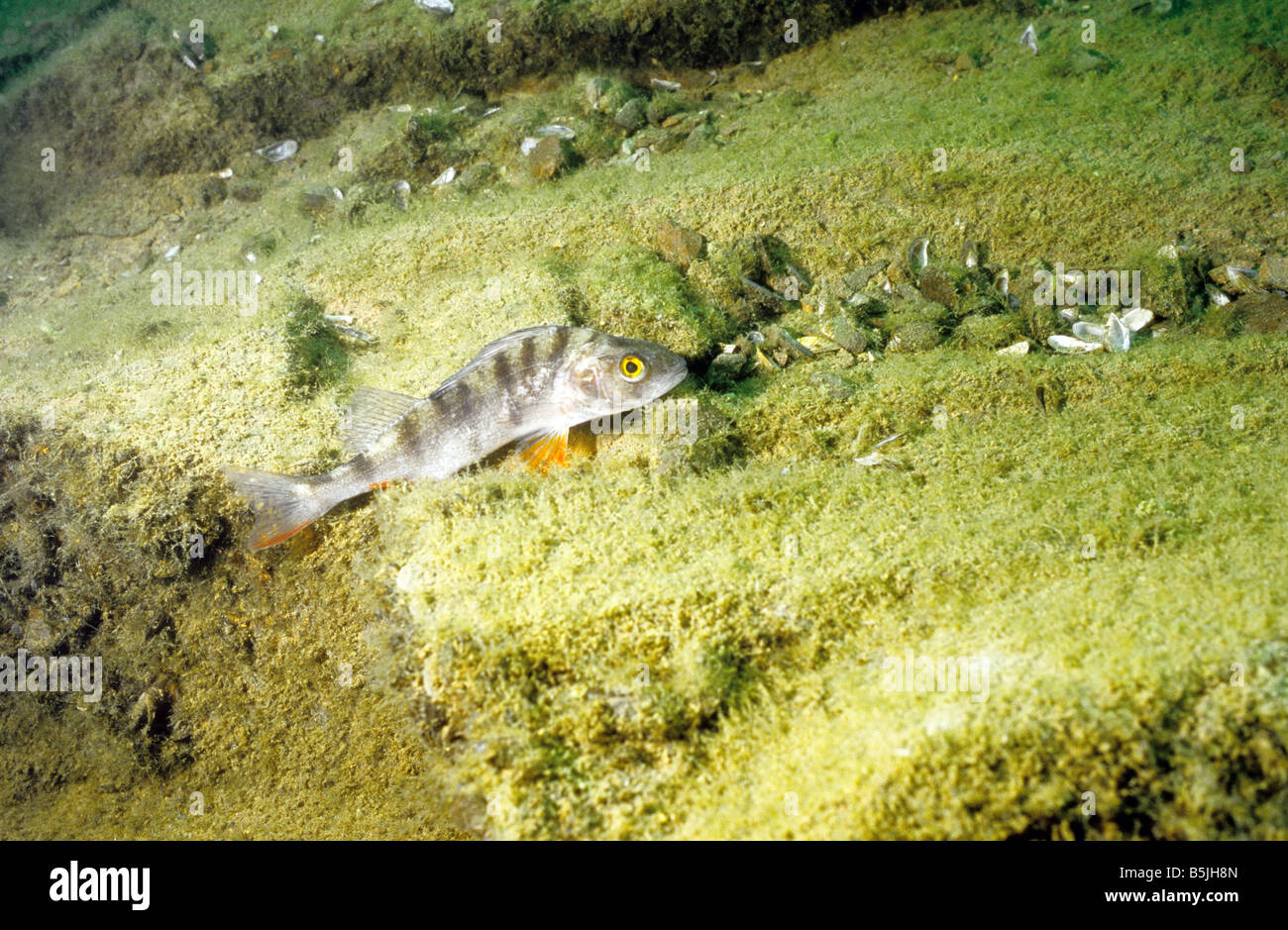 Freshwater fish england - Stock Photo Uk Freshwater Fish Perch Perca Fluviatilis Photographed In Stoney Cove Leicestershire England